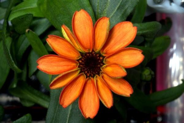 Цветок астры-циннии на МКС